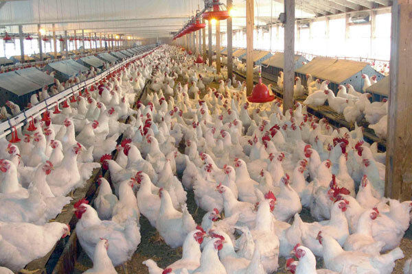 تشکلهای مرغ تخمگذار قم باید تقویت شوند