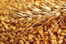 ۲هزار و ۲۰۰ تن بذر گندم در شوشتر تولید شد