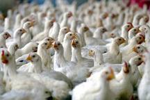 پرونده تخلف بر یک واحد تولیدی مرغ در سراوان تشکیل شد