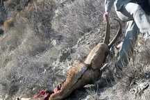 شکارچی یک راس کل و بز وحشی در قزوین دستگیر شد