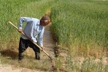 کشت محصول زراعی در ابرکوه 10درصد کاهش یافت