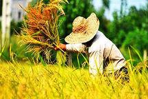 نخستین برنج ارگانیگ مازندران برداشت شد