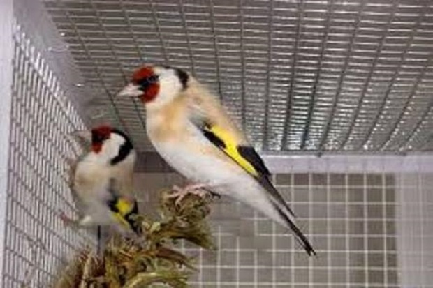 2 شکارچی زنده گیر سهره طلایی در سردشت دستگیر شدند