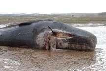 تلف شدن نهنگ بزرگ در ساحل بندر رمین چابهار