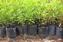 کشت نهال درختان سیاه ریشه در زاهدان آغاز شد