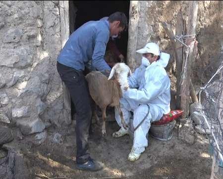 مایه کوبی 500 هزار راس دام سبک در کردستان علیه بیماری بروسلوز