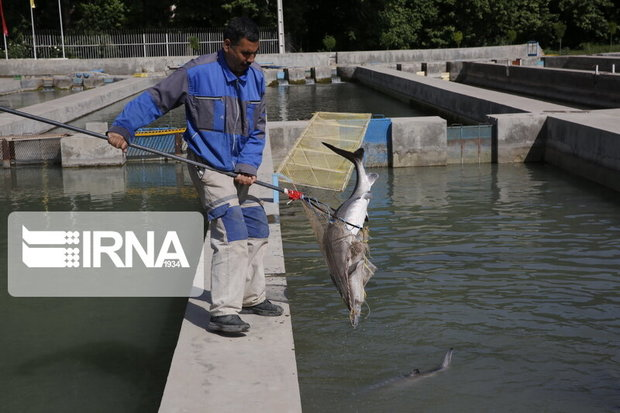 رئیس سازمان شیلات: آبزیپروری بیشتر از میزان صید باشد