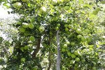 برداشت سیب پاییزه دماوند آغاز شد