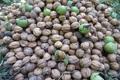 شرایط اقلیمی محصول گردوی تالش را کاهش داد