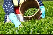 برای خودکفایی در تولید چای نیازمند طرحهای توسعهای هستیم  سطح زیرکشت چای افزایش یافت