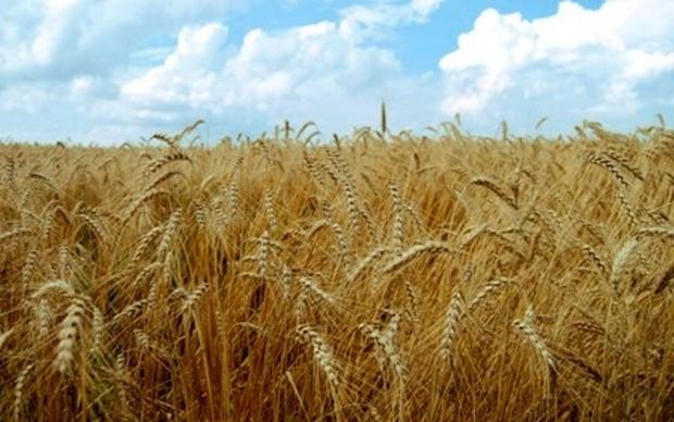 پیش بینی تولید 800 هزار تن گندم در آذربایجان شرقی