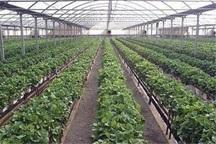 توسعه کشت گلخانه ای راهبرد اصلی کشاورزی جنوب تهران است