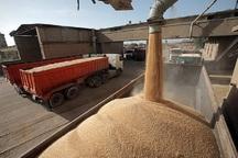 6 هزار تن گندم در شهرستان ری خریداری شد