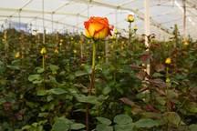 صنعت پرورش گل های زینتی کردستان در جوانه مانده است