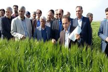 620 هزار تن گندم در استان اردبیل تولید می شود