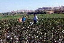 برداشت پنبه در اراضی زراعی شهرستان خداآفرین آغاز شد