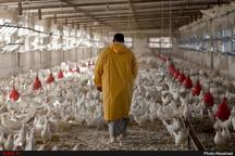 تولید گوشت مرغ در خراسان رضوی به روال عادی بازگشت