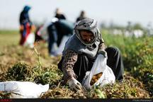 240 میلیارد ریال برای جبران خسارت کشاورزان استان البرز اختصاص یافت