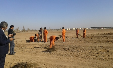 کاشت 16هزار اصله نهال گل سرخ در مزرعه گل محمدی زواره