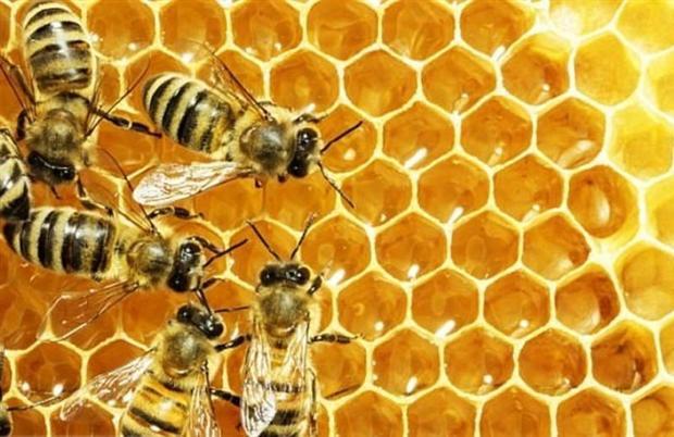 اصلاح نژاد ملکه به افزایش سه برابری تولید عسل در کشورانجامید