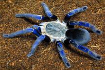 تولید پادزهر عنکبوتهای سمی در موسسه رازی