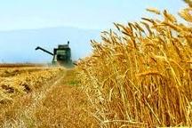 خرید تضمینی بیش از 64 هزار تن گندم از کشاورزان مازندران