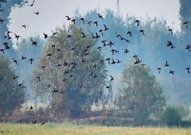 هجوم پرندگان به مزارع خراسان شمالی بررسی می شود