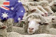 گوشت استرالیایی کیلویی 32 هزار تومان در 12 میدان تهران