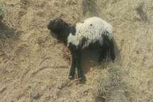 پلنگ در سیریک ، هشت گوسفند را تلف کرد