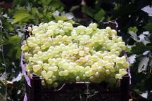 افزون بر چهار هزار تن انگور در ابرکوه برداشت شد
