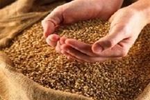 استفاده از بذرهای پر محصول برای توسعه بخش کشاورزی