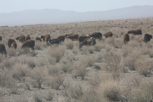 خوشحالی دامداران و کشاورزان ندوشن از بارندگی اخیر
