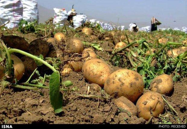 پیشبینی برداشت ۲۰۷ هزارتن سیبزمینی از مزارع چهارمحال و بختیاری