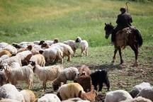 بیمه دام در زنجان 48 درصد رشد یافت