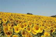 خرید تضمینی آفتابگردان در شهرستان مانه و سملقان آغاز شد