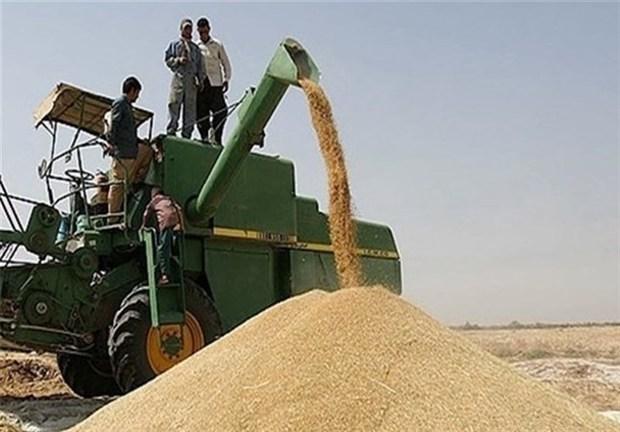 خرید تضمینی بیش از ۸۰۰۰ تن گندم در همدان