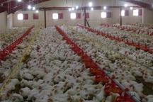 مردم دشتی دغدغه ای برای تامین مرغ نداشته باشند