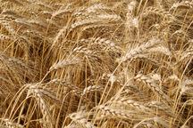 خرید تضمینی گندم در سیستان و بلوچستان آغاز شد