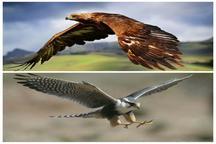 خطر انقراض کرکس مصری و بالابان در خراسان شمالی