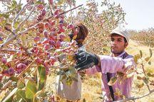 تولید پسته در مرند ۱۵ درصد کاهش یافت