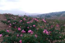 بخشی از زمین های کم بازده گلستان به زیر کشت گل محمدی رفت