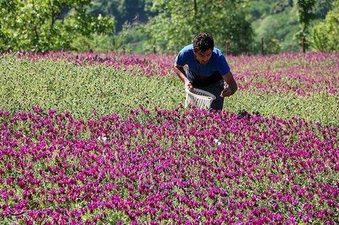 برداشت گل گاو زبان در رودسر استان گیلان+ تصاویر
