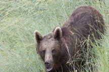 خسارت خرسها به کشاورزان زنجانی ناچیز است
