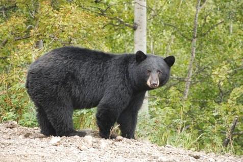 خرس سیاه ایران در خطر انقراض