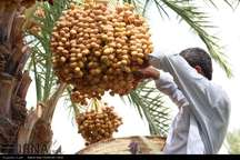 مدیر جهاد کشاورزی: برداشت خرما در ایرانشهر از مرز 36 هزار تن گذشت