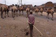 پرورش شتر در بشرویه 25 درصد افزایش یافت
