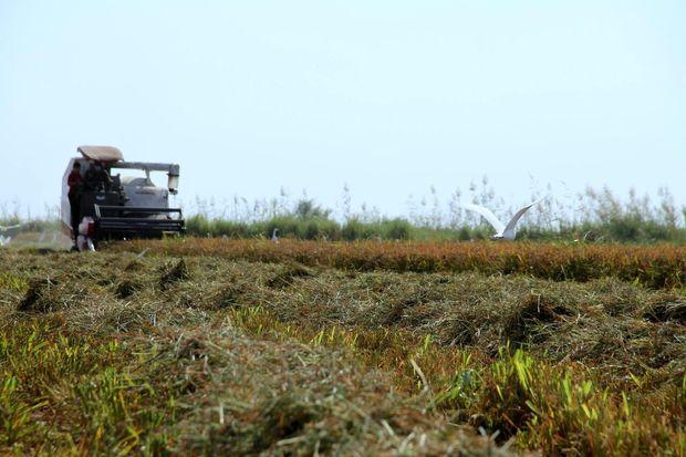 ۱۳۶ هزار تن برنج در شوشتر برداشت شد