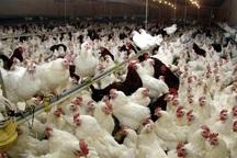قطع برق مرغداران گناباد را متضرر کرد