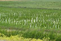 عطر خوش برنج به قیمت تشدید بی آبی!