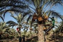 آغاز برداشت خرما در دشتی بوشهر